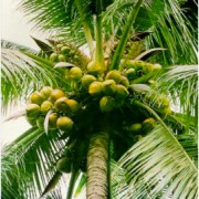 CocoZone 100% pure coconut water, palm tree, The tree of life.